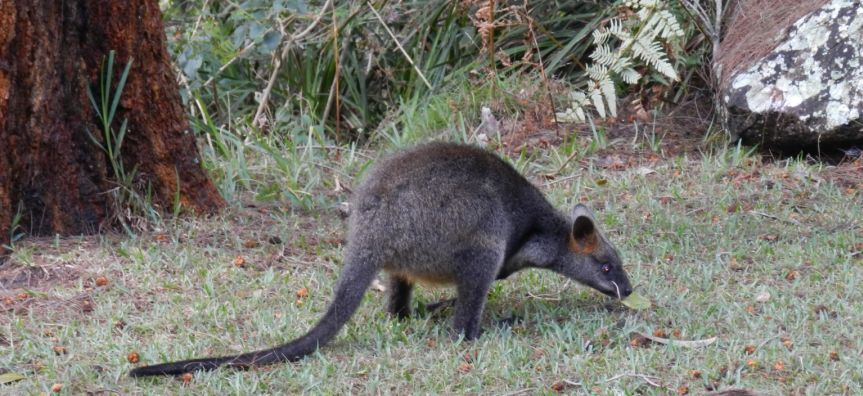 Meet the local wallabies