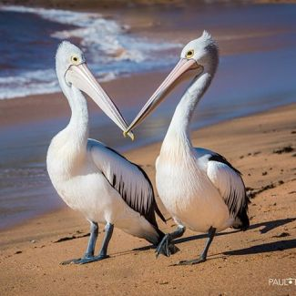 Here's some happy looking pelicans to get you through hump day! Lovely photo from @paullemlinphotography