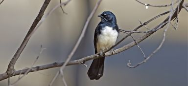 Willy Wagtail