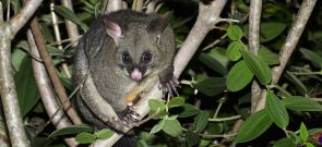 Common Brushtailed Possum