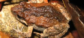 Common Eastern Froglet