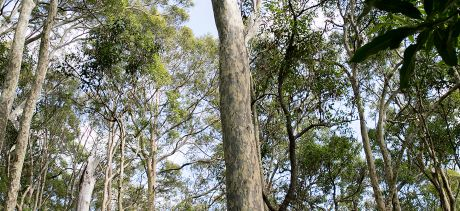 Native stand of eucalypts